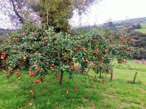 Manzano variedad Carrió