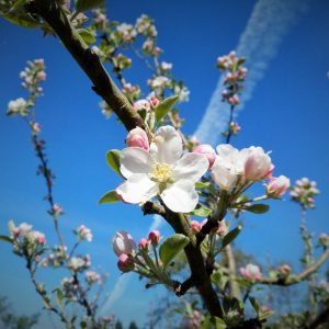 Flor de manzano