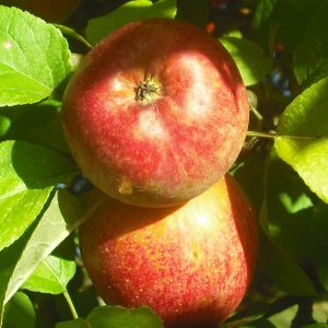 Manzana reineta roja