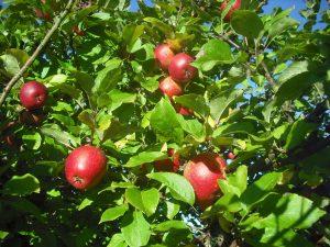 Manzanas naturales y deliciosas