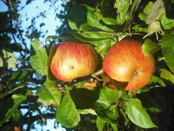 Manzana variedad Reineta Roja